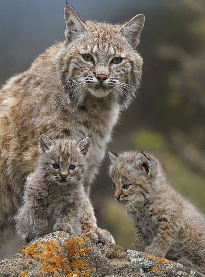 Adult bobcat with 2 kittens